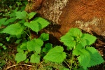 Stinging Nettle - Urtica dioica