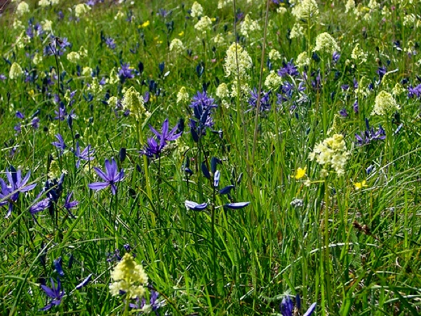 blue common camas vs. death camas camassia