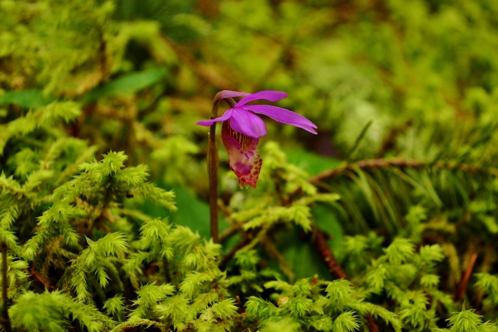 Fairy Slipper Orchid - Hairy Patterson Rd, Corvallis OR