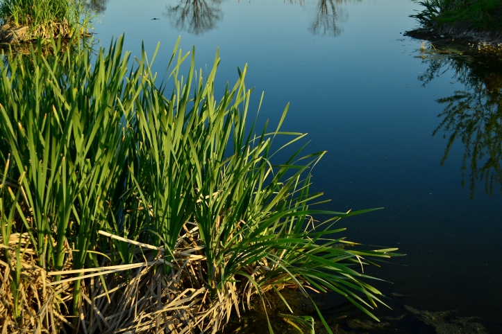 cattail typha growing in a marsh