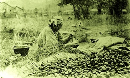 Nez Perce tribe, Camas harvest.