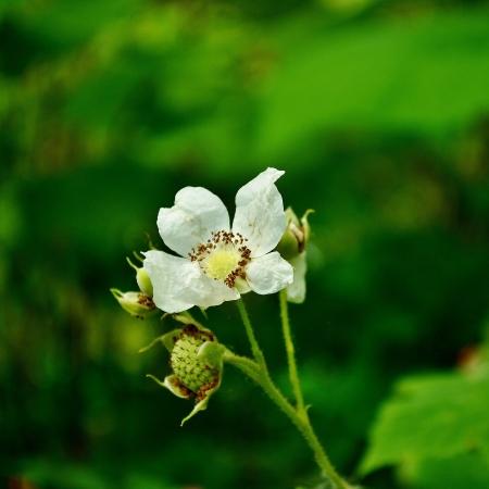 #rubus #thimbleberry #edible