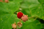rubus parviflorus thimble berry ripe berry