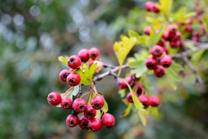 Although not recommended to eat the seeds Hawthorn Berries have been reported to be very good for heart health and strengthening the blood vessels. It also contains vitamin C and B complex and high in antioxidants.
