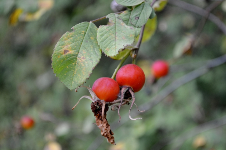 rose hips hip ripe the northwest forager foraging