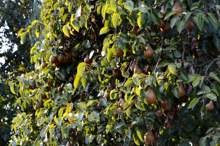 pears urban foraging the northwest forager hank holly
