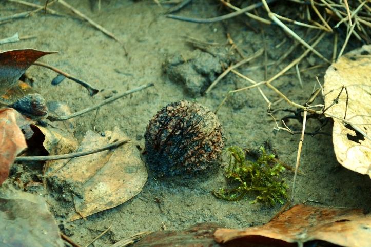 black walnut wild edible the northwest forager