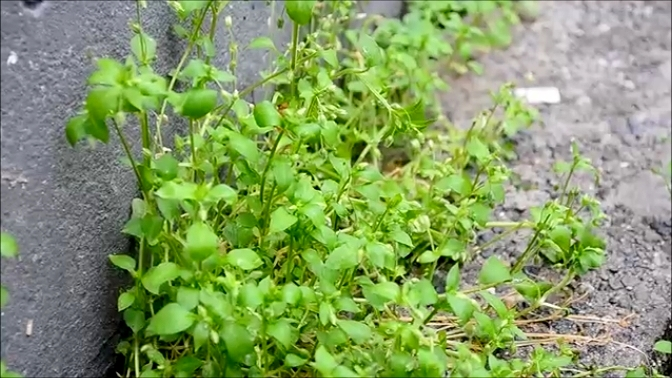 Chickweed (Stellaria media) is a juicy and tender green similar to Iceberg Lettuce, perfect as a base for salads or topping on your favorite sandwich.