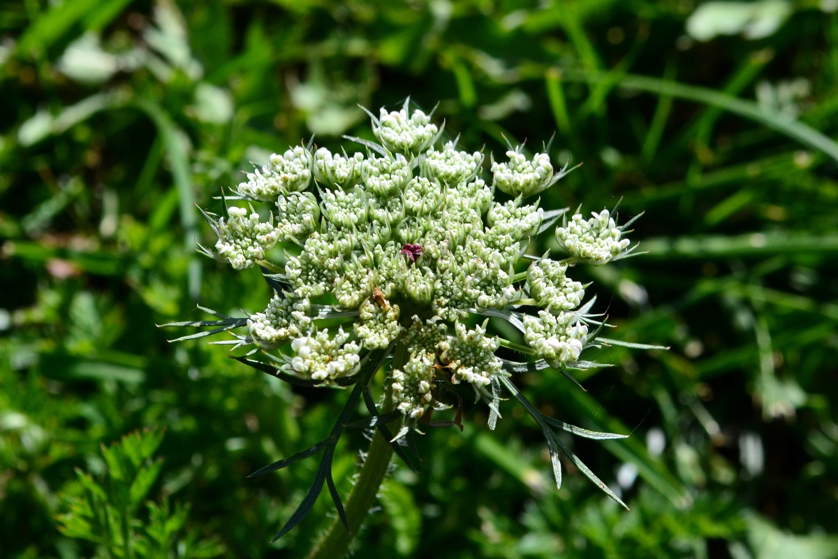 Wild Carrot - Queen Anne's Lace
