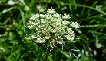 queen anne's lace wild carrot edible