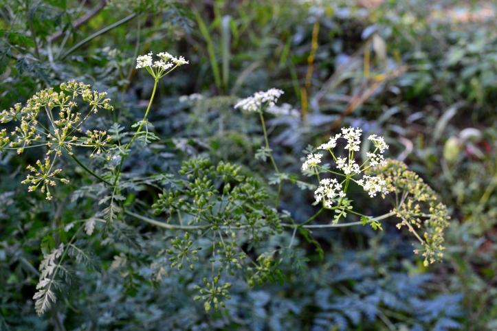 hemlock flower