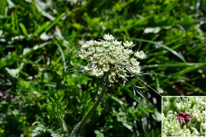 flowerThe flower of Wild Carrot is borne on a stem forming a large tightly compact umbel, all white with the typical single purple flower in the center.