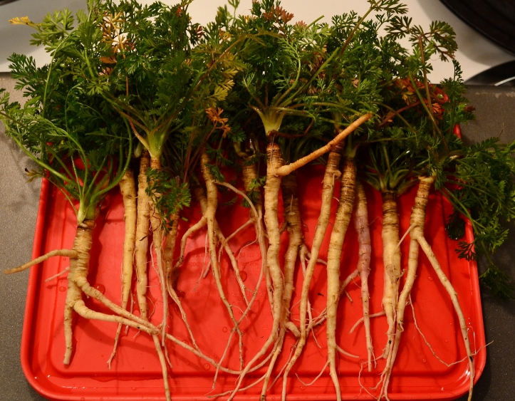First year roots, harvested and ready to be cooked.