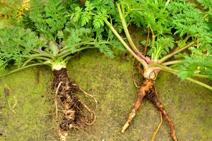 wild carrot poison hemlock
