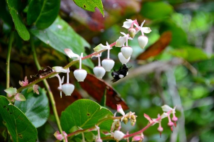 salal flower