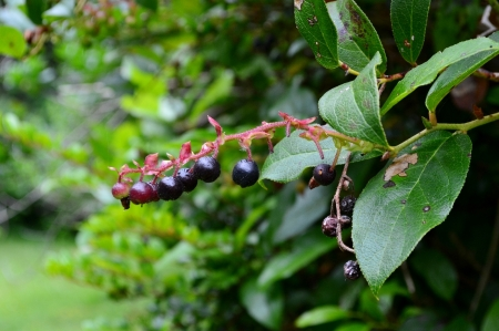Edible Salal berry of the pacific northwest. The northwest forager by hank holly.
