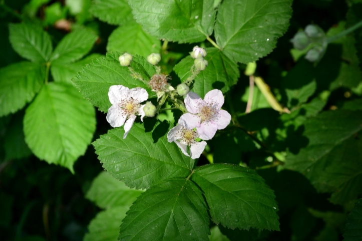 Himalayan Blackberry Flower