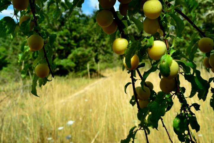 When out on your favorite walk keep an eye out for a forgotten bearer. These plums will make an excellent liquor!