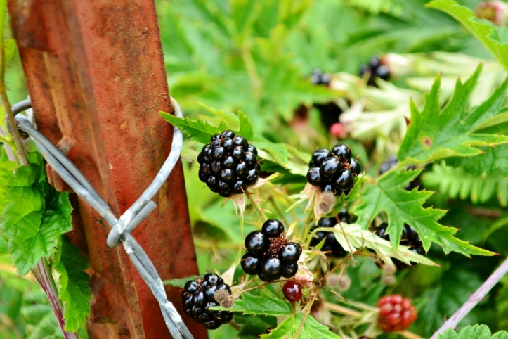 evergreen blackberry