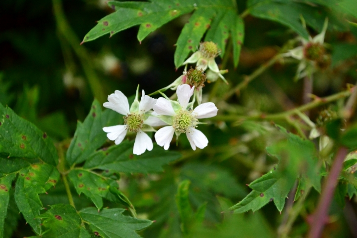 evergreen blackberry flower