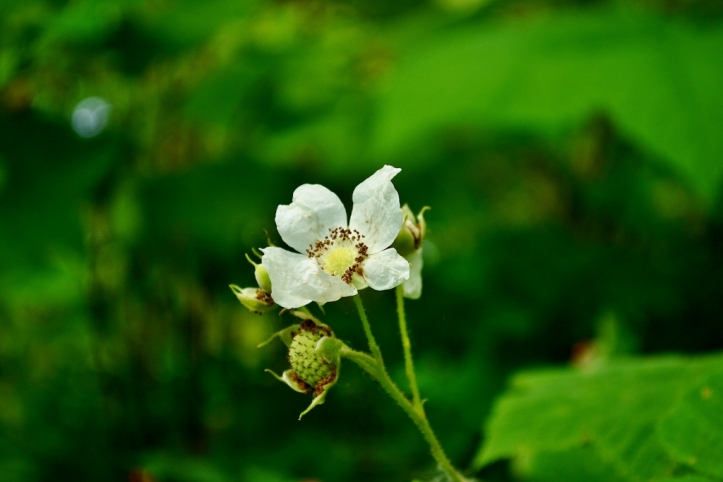 Thimbleberry Flower
