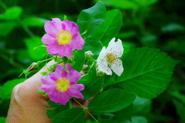 Rose flower compared to blackberry flower