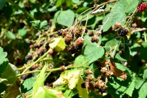 blackberries, the northwest forager by hank holly