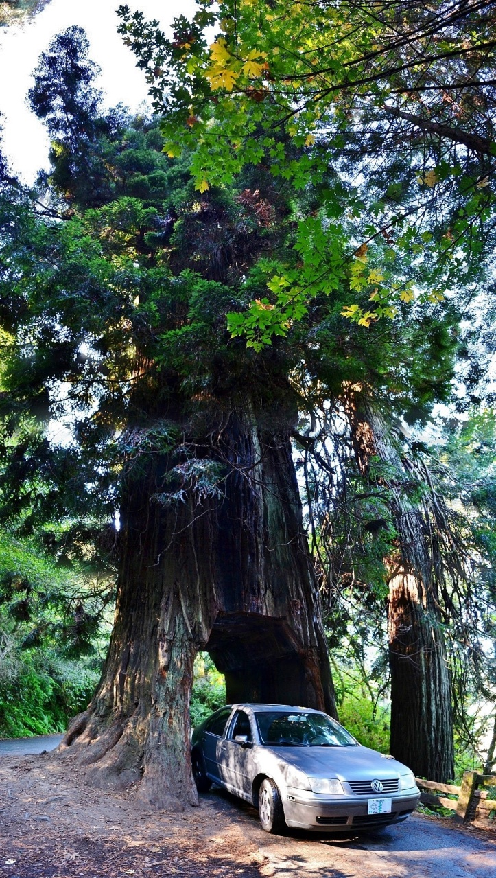 tour thre tree redwood Klamath California. the northwest forager
