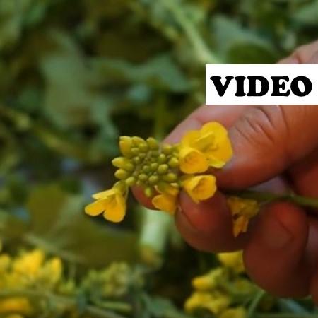 field mustard haphhazard