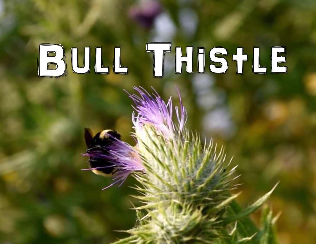 Bull Thistle - The mini Artichoke