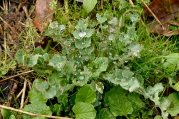 """Spiny Sow Thisle can be a bit too """"sharp"""" to chew once mature however I've found the young leaves to be both palatble and delicious when in its juvenile stage. Texture is reminiscent of Kale and makes a great base for salads."""