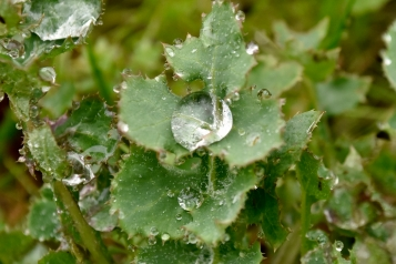 As you can see by this close up view the spiny sow thistle has no true thorns but rather a simply rugged leaf edge.
